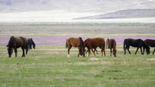 Slow Motion Of Wild Horse Herd Grazing In The West Desert In Utah