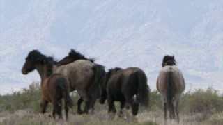 Slow Motion Of Wild Horses Fighting At The West Utah Desert