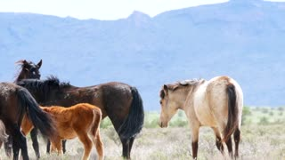 Slow Motion Of Wild Horses Fighting In The West Desert Utah