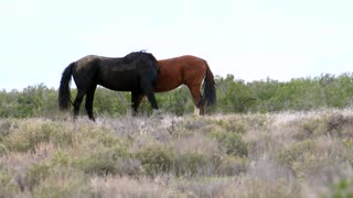 Slow Motion Of Wild Horses Fighting In The West Utah Desert