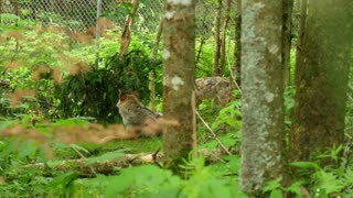 Slow Motion Of Wolf In Cage At Wildlife Conservation