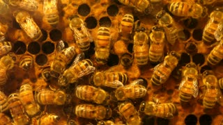 Slow Motion Shot Of Cool Honey Bees Working On Their Hive