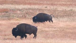 Slow Motion The Wild Buffalo Walking Through Geyser Basin At Yellowstone