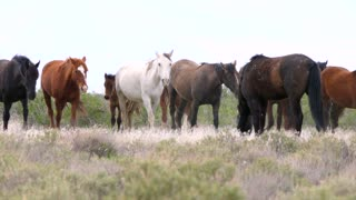 Slow Motion Wild Horse Herd Fighting At The West Desert In Utah
