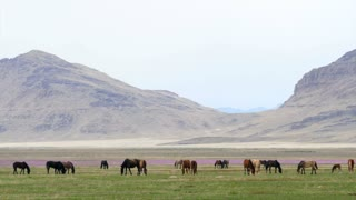 Slow Motion Wild Horse Herd Grazing In The West Desert In Utah