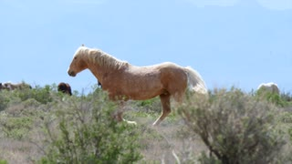Slow Motion Wild Horses At The West Utah Desert
