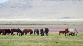 Slow Motion Wild Horses Grazing In The West Desert In Utah