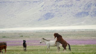 Slow Motion Wild Horses Mating In The West Desert In Utah