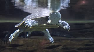 Turtle Swimming Calmly Through The Water
