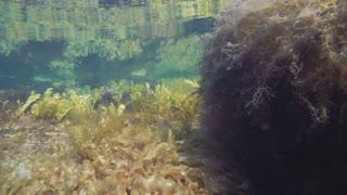Underwater Colorful Ocean Seaweed Moving Around In Current