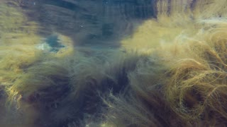 Underwater Shot Of Colorful Ocean Seaweed Moving Around In Current