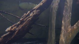 Underwater Shot Of Fish Swimming Through River Water