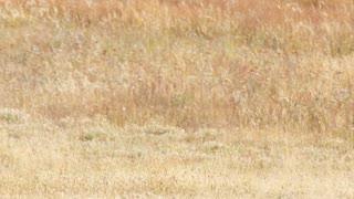 Wild Buffalo Roam In Fields At Sunset In Yellowstone At Old Faithful