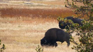 Wild Buffalo Roaming In Fields At Sunset In Yellowstone At Old Faithful