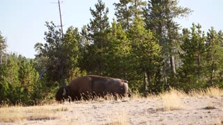 Wild Buffalo Roaming In The Trees At Sunset In Yellowstone At Old Faithful