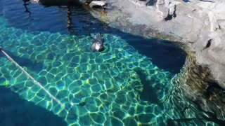 watching seals swim in the aquarium in the zoo