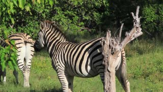 Zebra scratching against a tree