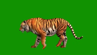 Tiger running, wild animal isolated on green background, side view