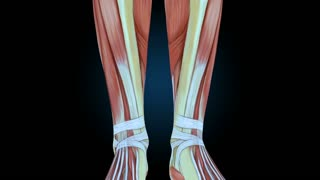 Human Muscular System, Female Muscle Model With Graph On Black Background With Camera Rotation, 3D Animation