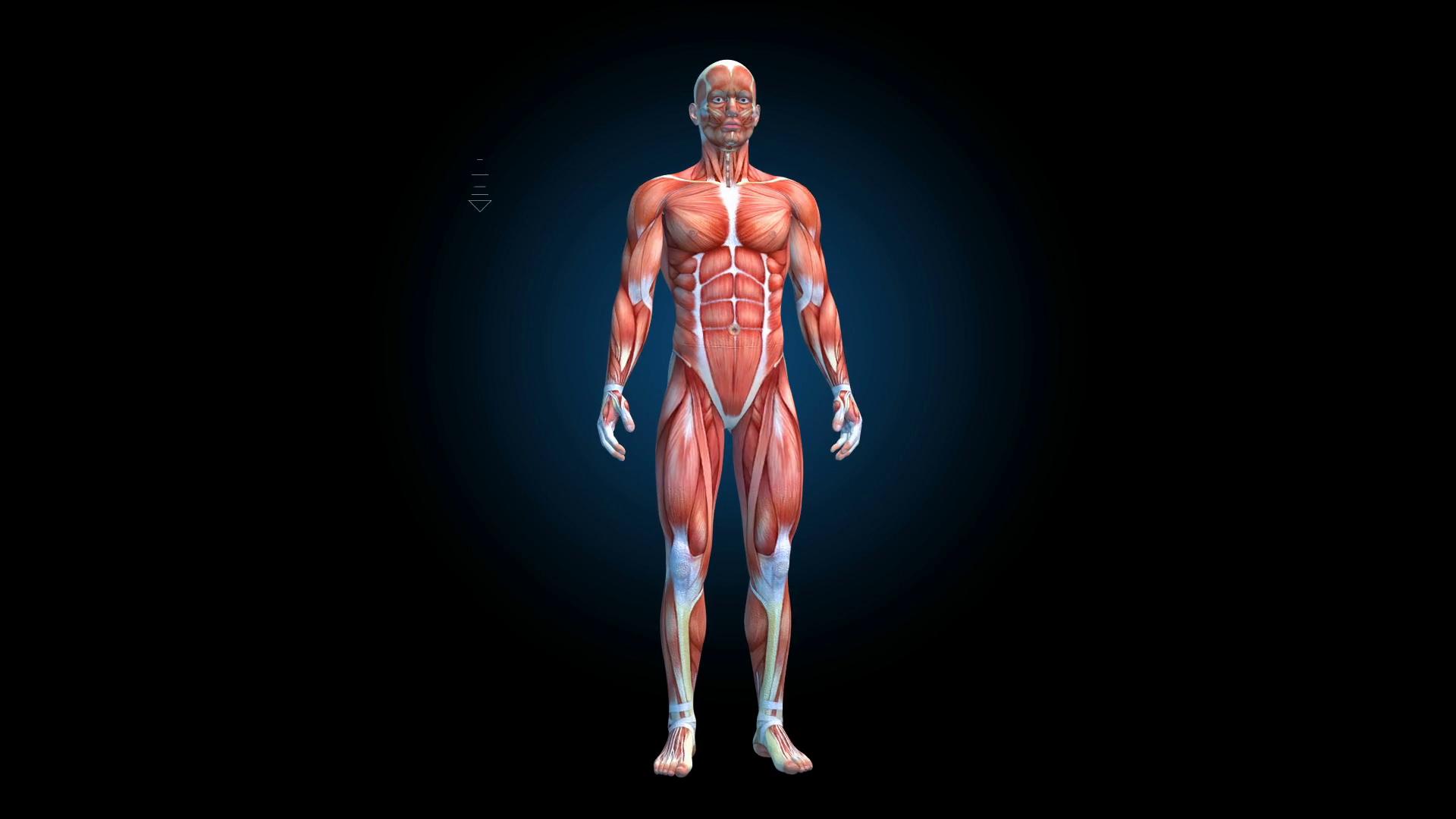 Base Male Anatomy 3d model - CGStudio