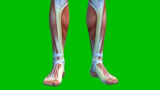 Human Muscular System on Green Background, Male Muscles on Green Screen with Camera Rotation, 3D animation