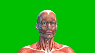 Male Head Muscles Isolated on Green Background, Human Muscular System Rotating on Green Screen, loop, 3D animation