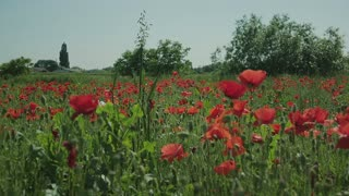 A little girl in a field of poppies.