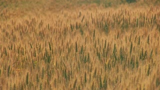 Golden field of dry wheat. Harvest concept.