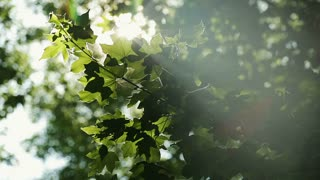 Green leaves and sun with selective focus.