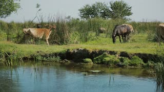 Landscape with horses and cows from Danube Delta area, Romania.