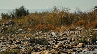 Little egret (Egretta garzetta) in grassland, near the river.