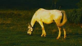 Lone white horse grazing.
