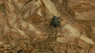 Mating darkling beetle in the desert, Israel.