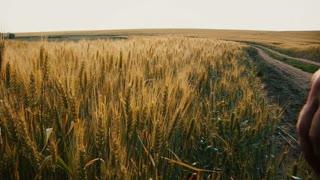 Roman legionary hand running through ripe wheat in the field.