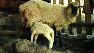 Sheep and lamb in a shelter. CU