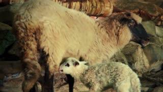 Sheep with lamb 5