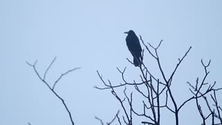 Silhouette of a tree with a crow.