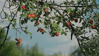 Tree with red apples in an orchard. Close-Up