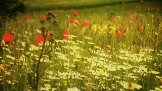 A man, as seen from behind, walking alone through poppy field. Panoramic Shot.