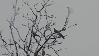 A tree branches with doves - slo mo