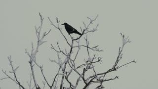 A Tree With Crow - Slo Mo