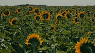 Airplanes overflying a sunflower field - ELS