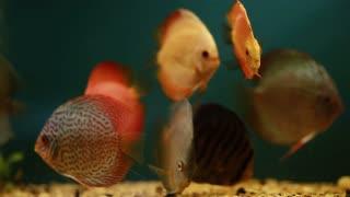 Aquarium with orange fishes