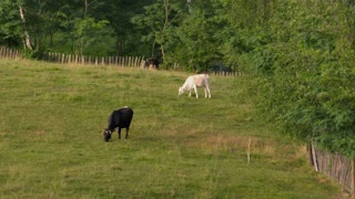 Black and white cattle grazing in a green field near a forest