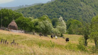 Black and white cattle on the meadow near a forest