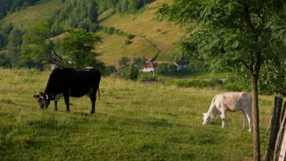 Black cattle and white calf grazing