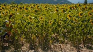 Children running through a sunflower field - slo mo