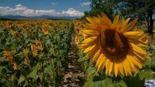 Children running through sunflower rows - slo mo