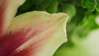 Close up of pink tulip - selective focus
