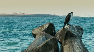 Cormorant standing on a rock